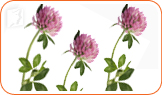 Red Clover can help with perimenopause symptoms