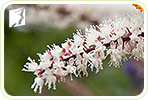 Black Cohosh and Hot Flashes