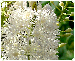 Black Cohosh: contains estrogenic compounds that treat hormonal imbalance