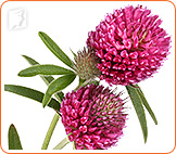 Red clover is an effective treatment for hot flashes.