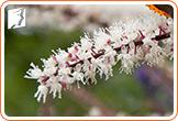 Black Cohosh and Hot Flashes2