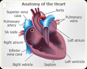 Anatomy of the heart