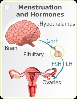 Hormonal glands and menstruation