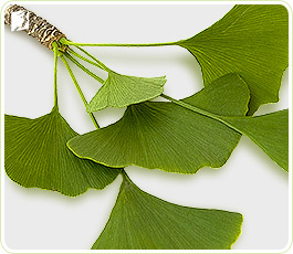 Ginko Biloba plant: herbal supplements can be very effective to treat loss of libido