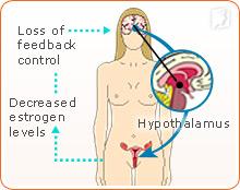 Hypothalamus and hormone control