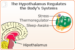 The hypothalamus regulates the body's systems.