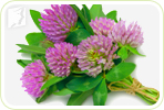 Isoflavone Clover Extract as a Treatment for Menopausal Hot Flashes