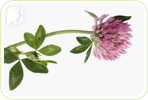Red Clover extract may not be an effective treatment for Night Sweats