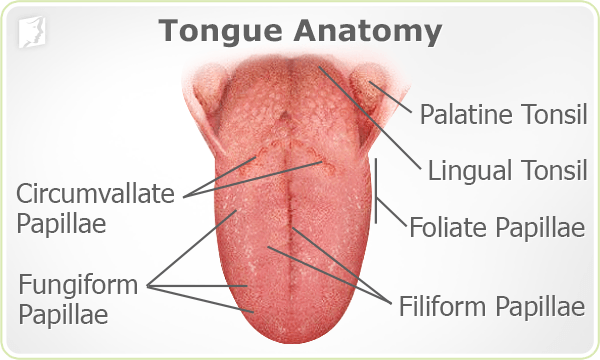 Tongue Anatomy