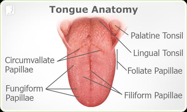 Tongue Anatomy