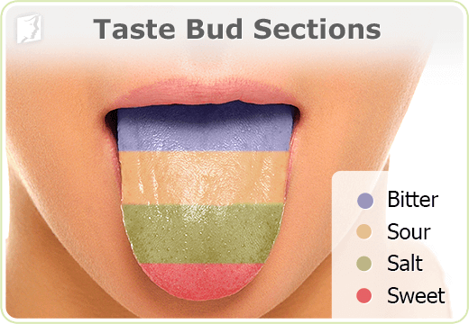 Taste bud sections