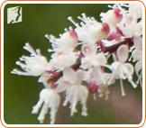 Black cohosh can be used to treat  menopause symptoms.