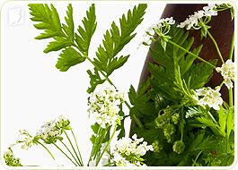 Non-estrogenic herbs: treat weight gain naturally during menopause