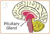A hormone produced by the pituitary gland tells the ovaries to make estrogen.